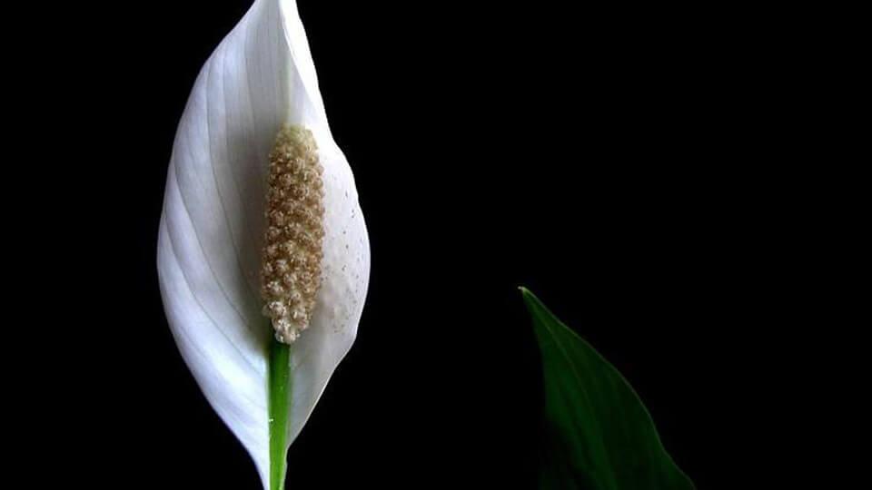 گل آپارتمانی اسپاتی فیلوم