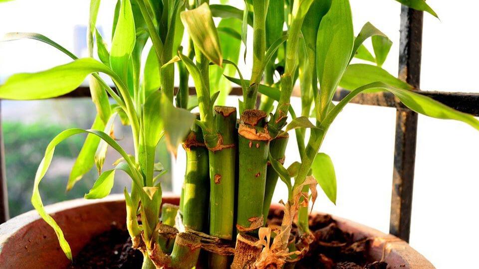 گل آپارتمانی بامبو