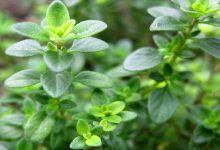 Photo of خواص گیاه دارویی آویشن چیست؟ بایدها و نبایدهای مصرف آویشن