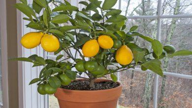 کاشت لیمو ترش