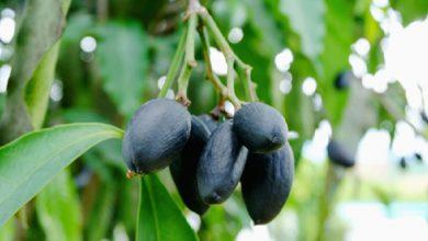 Photo of هلیله سیاه و استفاده از خواص بی نظیر آن در طب سنتی