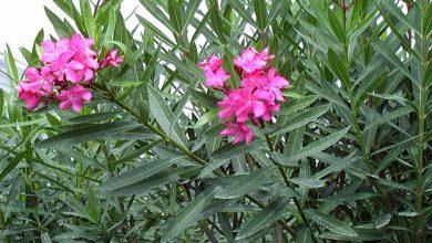 گیاهان سمی