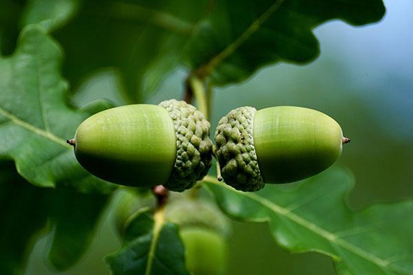 بلوط سرشار از ویتامین B است که شامل نیاسین, تیامین, ریبوفلاوین و ویتامین b12 می باشند.