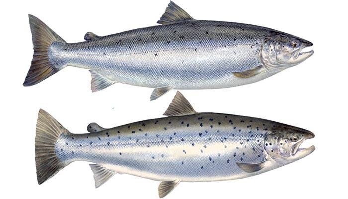 تفاوت های ظاهری ماهی قزل آلا با ماهی سالمون.