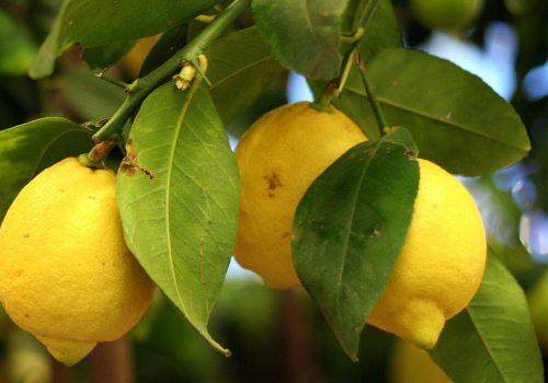 مرهم لیمو حاوی تانن، قابض طبیعی است.
