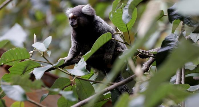پشه ها به طور معمول ویروس را بین میمون ها در جنگل بارانی منتقل می کنند
